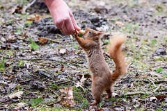 Hungry Red Squirrel (Terry Angus) Tags: squirrel redsquirrel red