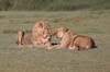 Courtship (ashockenberry) Tags: africa nature naturephotography natural habitat grassland safari african wildlife photo wildlifephotography wild wilderness serengeti national park ashleyhockenberryphotography cats felines mane resting courtship mating lions lioness