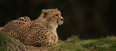 Cheetah (yadrad) Tags: cheetah dartmoorzoo dartmoorzoologicalpark zoo sparkwell bigcats animal carnivore ngc