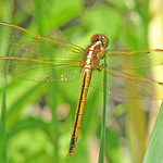 Needham's skimmer, female - Florida (Libellula needhami) thumbnail