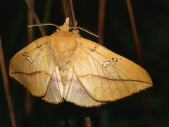 Euthrix potatoria ♀ - The Drinker (female) - Травяной шелкопряд (самка) (Cossus) Tags: 2009 euthrix lasiocampidae pinarinae анциферово коконопряд