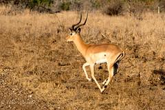 Impala (mayekarulhas) Tags: southafrica safari impala antilope animal wildlife wild canon krugerpark krugernationalpark