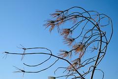 desirs_eponymes_alain_leveque_043 (alain leveque) Tags: pin aiguille fleur fruit xt20 fuji