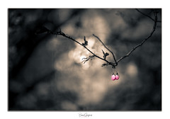 _DSC0438-Edit (benny.skoglund) Tags: cherry blossom sony a7r carlzeiss makroplanar 100mm f20 stockholm sweden