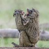 Maternal affection.... (Duncan Blackburn) Tags: 2018 baboon kenya masaimara mammal nikon nature wildlife