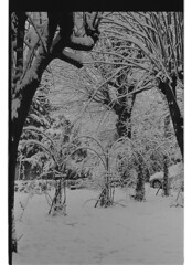 P60-2018-024 (lianefinch) Tags: argentique argentic monochrome blackandwhite blackwhite bw noirblanc noiretblanc nb nature analogique arbre tree analog jardin garden hiver winter snow neige frozen gelé