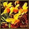 Daffodils. #collegepark #maryland #iPhone #commute #sidewalk #roadside #iPhonemacro #macro  #flower #flowersofinstagram (Kindle Girl) Tags: roadside collegepark maryland iphone commute sidewalk iphonemacro macro flower flowersofinstagram