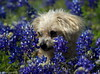 blue daze (pvh photo) Tags: bluebonnets yorkiepoo texas smcf80200