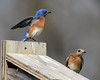 DSC_4057=2Bluebirds (laurie.mccarty) Tags: bluebird outdoor nature bird bokeh wildlife birding birdwatcher