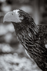 Who Are You? (Lazy Pixel) Tags: blackandwhite birdofprey monochrome portrait eagle