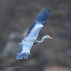 旋 (KevinBJensen) Tags: 鸟 野生动物 动物 飞行 苍鹭 大自然 野生 翅膀 自然 美丽的
