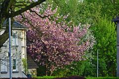 Blütenpracht (Michael Döring) Tags: gelsenkirchen bismarck laarstrase morgenstimmung blütenpracht frühjahr afs70200 d800 michaeldöring