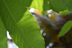 Holes (Miriam Christine) Tags: leaves leaf leafy green macro light closeup pretty holes imperfect imperfection shadows contrast epidermis shaded chlorophyll sri lankan tree