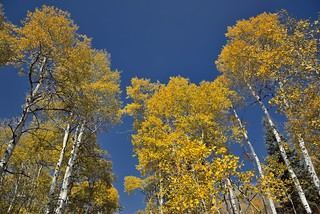 The Aspens Stood Tall Around Me in a Forested Beauty