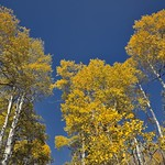 The Aspens Stood Tall Around Me in a Forested Beauty thumbnail