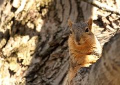 Squirrel, Cantigny Park. 54 (EOS) (Mega-Magpie) Tags: canon eos 60d outdoors squirrel wildlife cute tree branch cantigny park wheaton dupage il illinois usa america