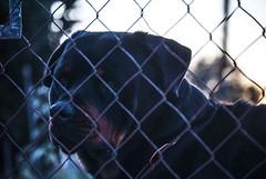 """dangerous"" dog (Kigiru17) Tags: animals animal animales perro dog sad sadness triste tristeza"