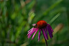 A moment in time (d.cobb56) Tags: echinacea bokeh summerbokeh pint minimalism