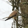 Keeping out of the wind (Cosper Wosper) Tags: kes kestrel tealham moor