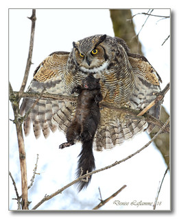 1E1A6778-DL   Grand-duc d'Amérique / Great Horned Owl.