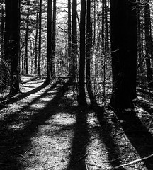 Among the Shadow of Giants (PeZ_III) Tags: bostedor dbozphotography michigan puremichigan puremittigan getolympus jackson jacksonmichigan jxn jxnart jxnmi maccready nature naturephotography natureporn natgeo blackwhite blackandwhite blackwhitephotography blacknwhite blackandwhitephotography maccreadynaturerefuge hike naturehike tree trees shadow shadows giants pine pines pinetree pinetrees