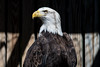 Bald Eagle ♀︎ (sniggie) Tags: kos kentucky louisville raptorrehabilitationofkentucky eagle raptor winter adult female haliaeetusleucocephalus baldeagle bird