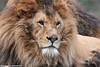 African lion - Olmense Zoo (Mandenno photography) Tags: animal animals african lion lions olmense olmensezoo olmen belgie belgium bigcat cat balen ngc nature zoo