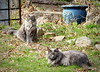 the family (Judecat (embracing Spring!)) Tags: felines long longhairedgreycats dora sally vinny catsinthegarden