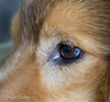 sheltie (JosjeToby) Tags: dogs nature naturephotography shelties doggies shetland sheepdog shetlandsheepdog shetlandsheepdogs animals pets closeup macro macrophotography sonya6000 lightroom bokeh blur love