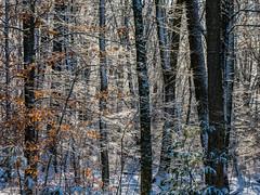 winter morning (marinachi) Tags: trees sun snow leaves light forest winter sundaylights connecticut usa