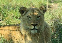 Zen King (elc13600) Tags: rouge elc lion rsa krugerpark afrique africa wild life sauvage nature 2012 félin fauve roi king animal male