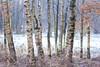 birch trees (GeoMatthis) Tags: tree forest winter birch germany nature cold fog clouds light color colour contrast