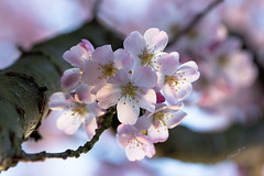 Longing for Spring - Spring 2017 (Wilma v H- Best wishes for a wonderful 2019) Tags: prunusblossoms prunus blossoms springscenics springflowers spring2017 trees flowers 2017 outdoors canoneos60d canon100mm28f closeup luminositymasks tkactionsv6panel pinkflowers pinkblossoms bloesems backlit patersweg dordrecht nederland netherlands