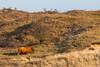 ©Mark Kras-Schotse Hooglander-IMG_2263.jpg (markkras-fotografie) Tags: zoogdieren schotsehooglander vee fauna bostaurus highlandcow nederland nl