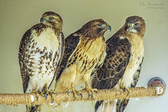 Red Tail Hawks - Reelfoot Lake State Park (J.L. Ramsaur Photography) Tags: jlrphotography nikond7200 nikon d7200 photography photo tiptonvilletn westtennessee lakecounty tennessee 2018 engineerswithcameras redtailedhawks photographyforgod thesouth southernphotography screamofthephotographer ibeauty jlramsaurphotography photograph pic tiptonville tennesseephotographer tiptonvilletennessee hawks redtailedhawk buteojamaicensis nature outdoors god'sartwork nature'spaintbrush ruralsouth rural ruralamerica ruraltennessee ruralview hawk migratorybirdtreatyact protected reelfootlakestatepark statepark tennesseestatepark reelfootlake established1956 reelfootlakepark park tennesseestateparks tennesseedepartmentofenvironmentconservation tdec