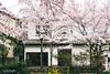 IMG_1562 (Su.Chang) Tags: japan 関西 京都 大阪 哲學之道 花見小路 櫻花 cherryblossoms 祗園 白川 kyto