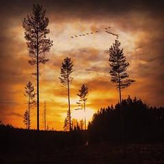 ~ flying away ~  Riddarhyttan, Sweden (Tankartartid) Tags: clouds moln solnedgång sol sun sunset fåglar birds silhouettes siluett himmel sky skog träd forest trees natur nature norden nordic västmanland riddarhyttan europe sverige sweden instagram ifttt