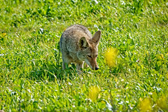 Smell the Flowers (lennycarl08) Tags: coyote animalplanet animals contracostacounty northerncalifornia