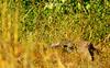 MONITOR_LIZARD_GORONGOSA_SOFALA_MOZAMBIQUE (Varanus albigularis) (paulomarquesfotografia) Tags: paulomarques sonya230sal75300mmlizardmonitorlagartomonitorvaranovaranus sony a230 sal75300mm lizard monitor lagarto varano varanus gorongosa sofala moçambique wildlife jungle wild life bush trees