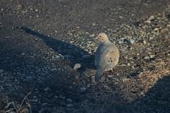 Mourning Dove On Driveway 001 - Zenaida Macroura (Chrisser) Tags: birds bird doves dove mourningdoves mourningdove zenaidamacroura nature ontario canada canoneosrebelt6i canonef75300mmf456iiiusmlens columbidae