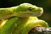 Green tree python (dpsager) Tags: chattanooga chattanoogazoo dpsagerphotography greentreepython tennessee zoo snake vividstriking saariysqualitypictures