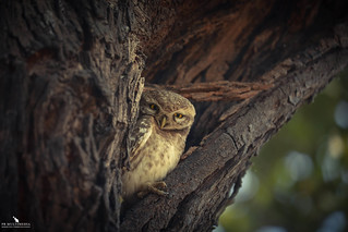 Little Spotted Owlet
