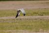 Pallid Harrier male flight_w_2459 (Daly Wildlife) Tags: paralimni ammochostos cyprus cy circusmacrourus pallidharrier migration birdsofprey raptor quartering hunting maleharrier mediterraneansea middleeast wintersafrica greywhitebird circling