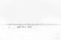 Caribou of Fletcher Lake  3I6657 (Dr DAD (Daniel A D'Auria MD)) Tags: caribou deer antlers mammals animalsofthecanadiantundra arctic subarctic frozen cold wildlife canadianwildlife manitoba hudsonbay animalmigrations cariboumigrations wildlifephotography nature naturephotography watcheelodge danieladauriamd drdadbooks childrenswildlifebooksbydanieladauriamd march2018