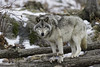 A timber wolf... (Daniel Parent) Tags: animals wolftimberwolfgrey