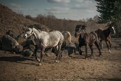 Horses in a gallop. (krzysztofdejneka) Tags: konie koń pastwisko łąka galop wiosna słońce drzewa kamienie polska podlasie łomża piątnica horses horse pasture meadow gallop spring sun trees stones animal tree field sky livestock