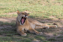 Female  has her own thoughts about how exciting all this mating is.... (Hector16) Tags: ndutu wildebeestmigration eastafrica tanzania serengeti migration wildlife nature arusharegion tz