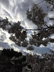 IMG_0128 (Coto Language Academy) Tags: iidabashi outside school cherryblossoms