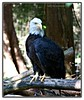 The American Bald Eagle, standing proud! (MEA Images) Tags: americanbaldeagle birds wildlife largebirds zoos parks nature northwesttrekwildlifepark eatonville washington canon picmonkey