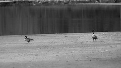 Honkers (Mr. Low Notes) Tags: 70d bw blackandwhite monochrome outdoors nature water landscape goose geese canadiangeese